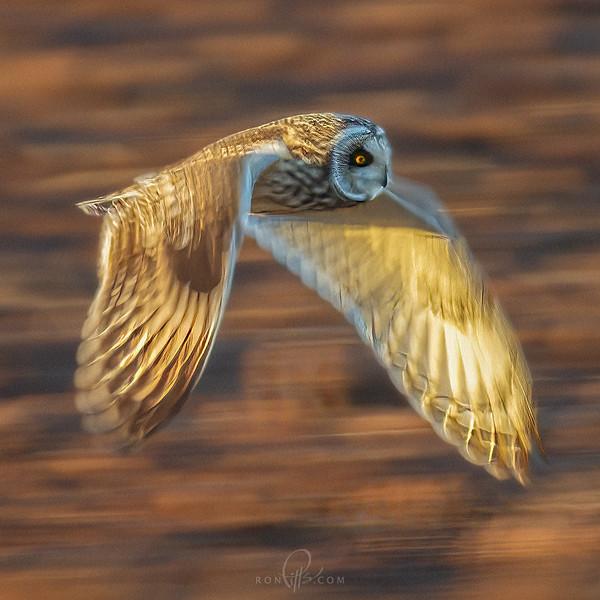 sm owl 6377b.jpg