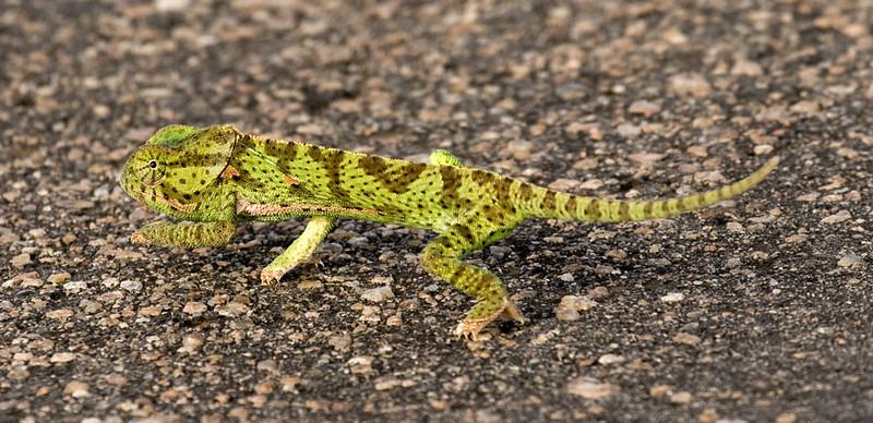 Chamaeleon. Kruger National Park, South Africa