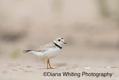 Piping Plover; Lake Ontario 2015