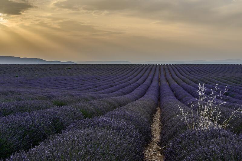 Lavender19-Edit.jpg