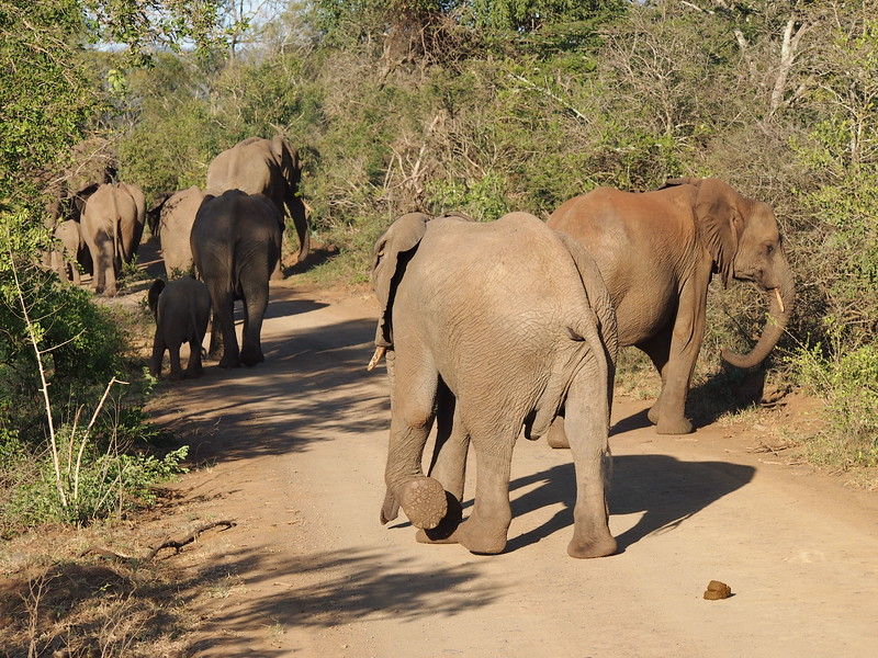 P5056365-elephants-on-road.JPG