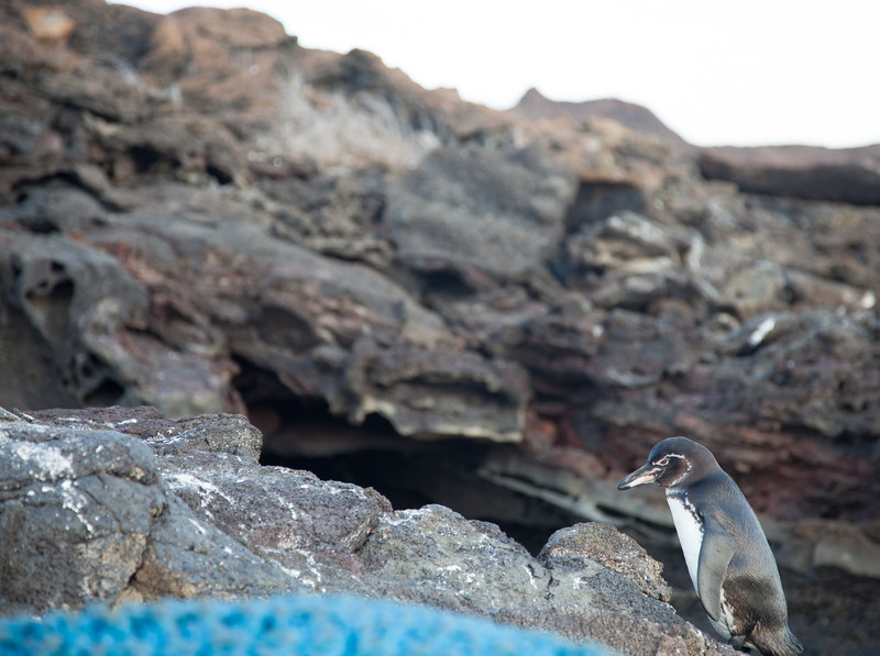 One of the few penguins living in the Galapagos.