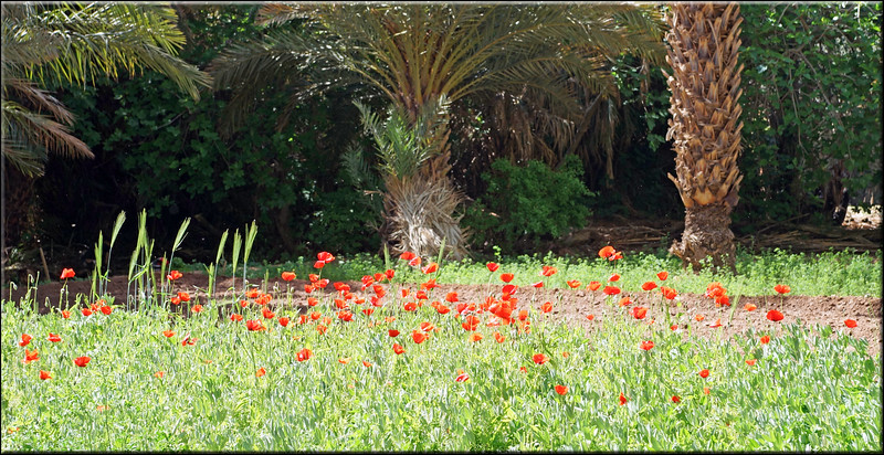 Poppies in the Oasis