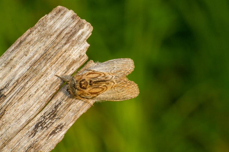 Peridea basitrans Oval-based Prominent 93-0048 7919 Family Notodontidae Skogstjarna Carlton County MN IMG_3282.jpg