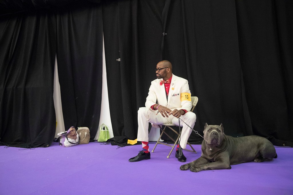 . Lenard Clayton and Zues, a cane corso, wait to compete in the 141st Westminster Kennel Club Dog Show, Tuesday, Feb. 14, 2017, in New York. (AP Photo/Mary Altaffer)