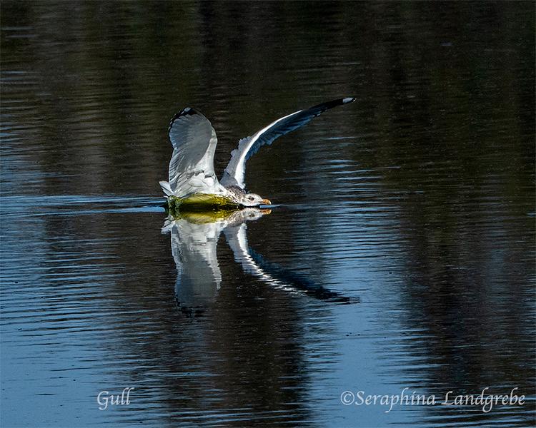 _DSC3111Gull landing web.jpg