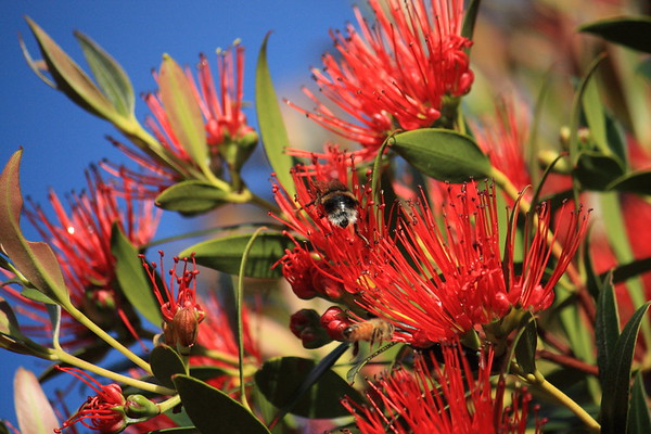 New Zealand Southern Rata, honey bee and bumble bee