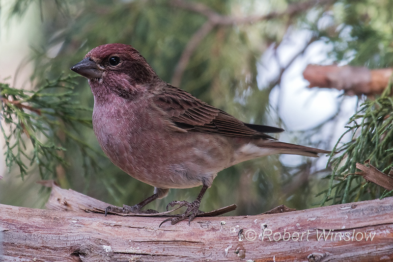 Male, Cassin's Finch, Haemorhous cassinii, La Plata County, Colorado, USA, North America