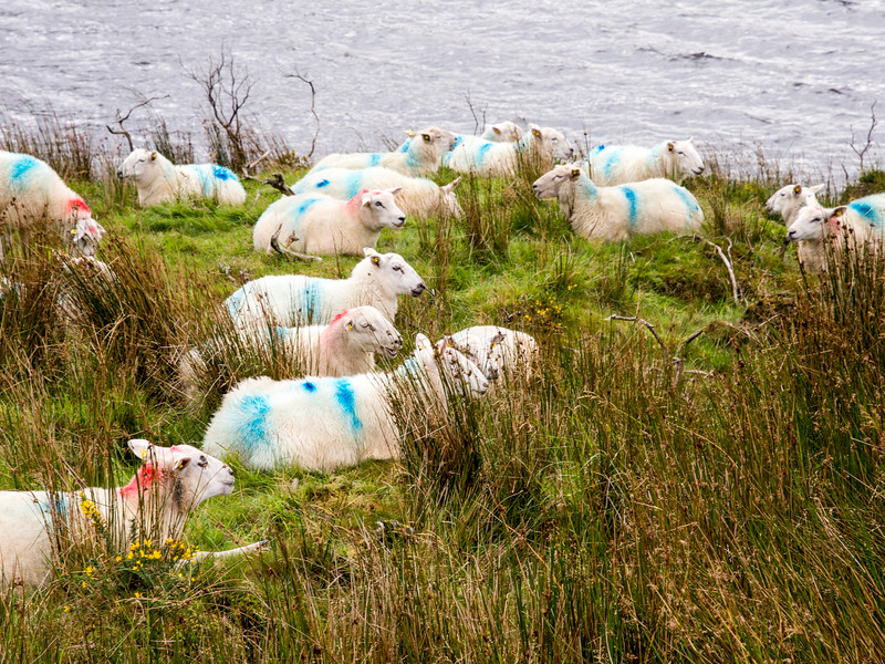 Glencar sheep