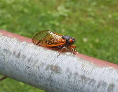Cicadas - In Living Color - 2