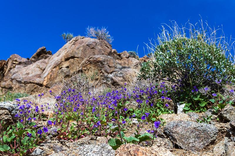 3. Beautiful blue-colored bluebells blooming between badlands of otherwise barren Borrego desert
