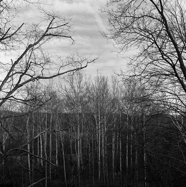 White Birch Copse, Munnsville, NY. March 2016