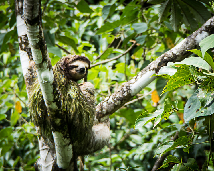 Sloth in a tree on a Panama vacation.