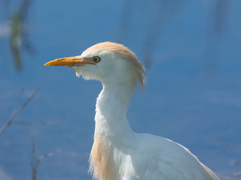 4332 Cattle Egret Profile.jpg