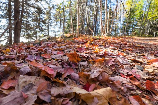 leaves along Ocean Path, Acadia National Park