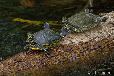 Redbelly Cooter sunning themselves
