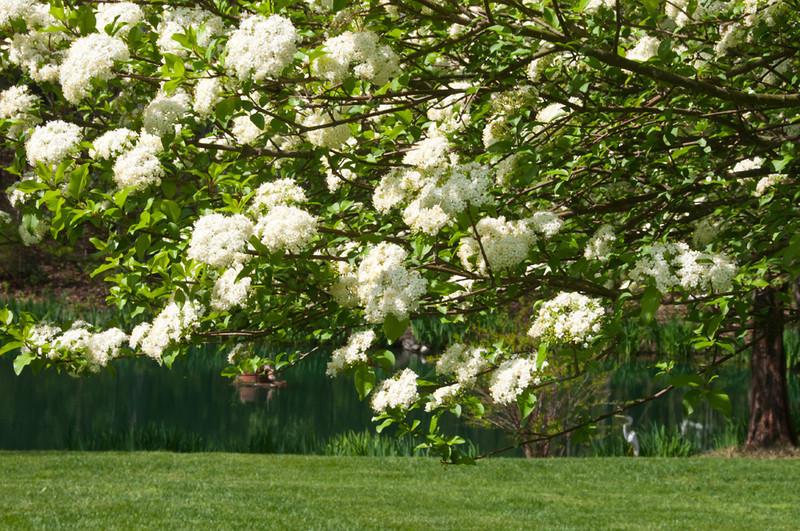 Close up of blooming Viburnum