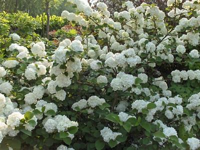 Viburnum plicatum f. tomentosum 'Rotundifolium'.jpg