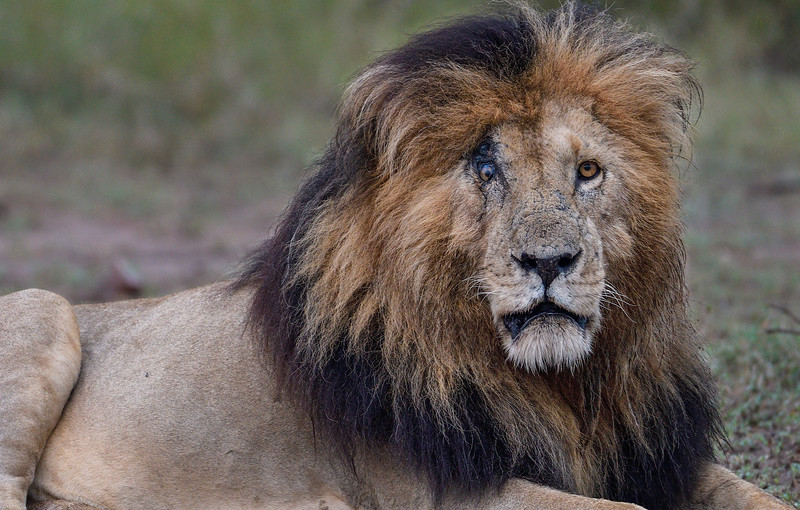 The-scar-face-warrior-lion-Masaimara-1.jpg