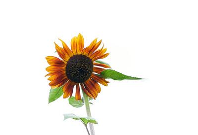 Rutledge Sunflower Farm August 20, 2021