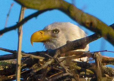 Cutaloosa Eagles