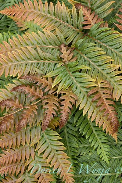 9760 Woodwardia unigemmata fern fronds_2635.jpg