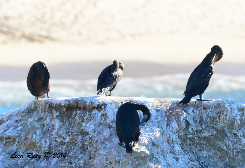 Brandt's and Double-crested Cormorants - 12/29/2014 - Sunset Cliffs