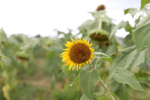 Rachel Stimpson Sunflowers