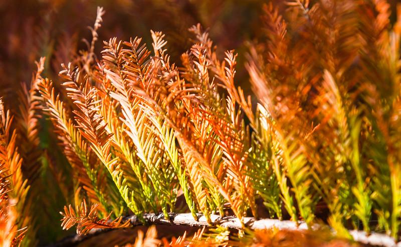 Fall colors -- Bald Cypress, detail