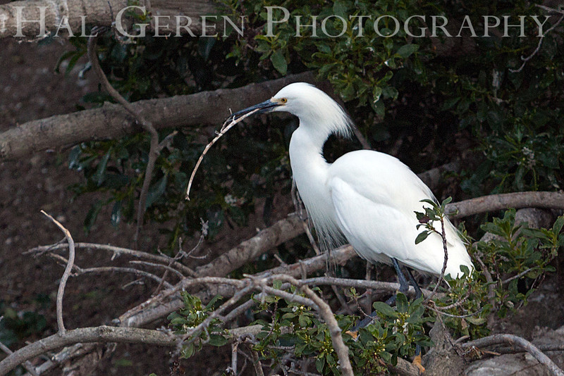 Snowy Egret with nesting material Newark, California 1304N-SE1NC