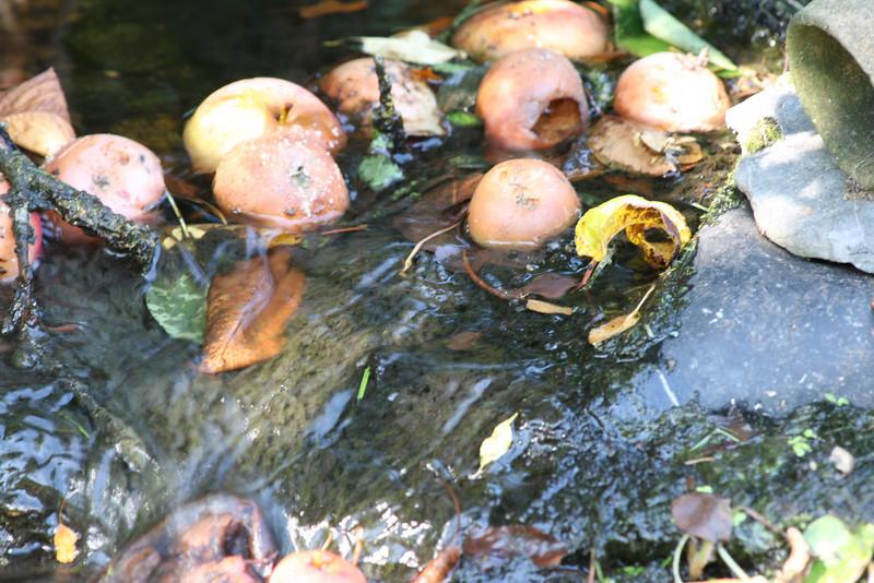 apples in stream.JPG