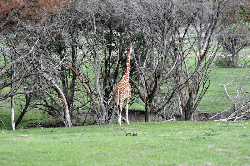 Giraffe 03.jpg