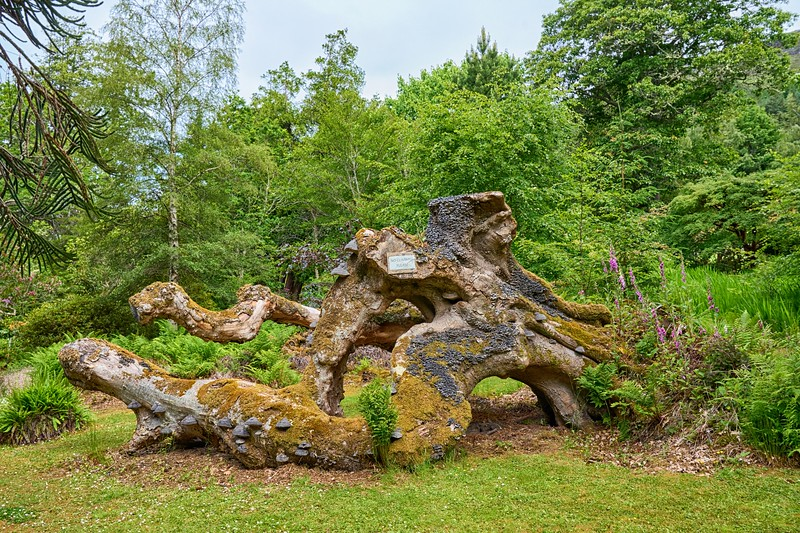 Near Ullapool - Leckmelm gardens - a no climbing tree