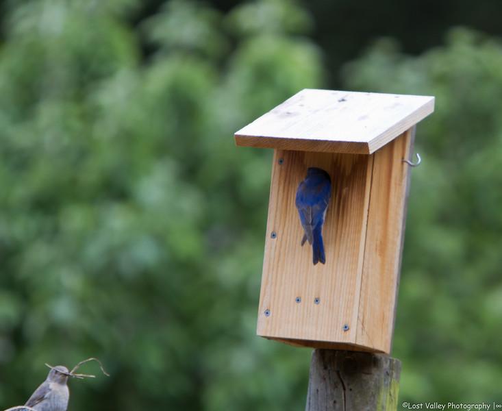 Bluebirs Nesting-1069.jpg