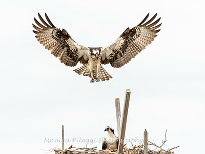 Ospreys,  29 April 2019