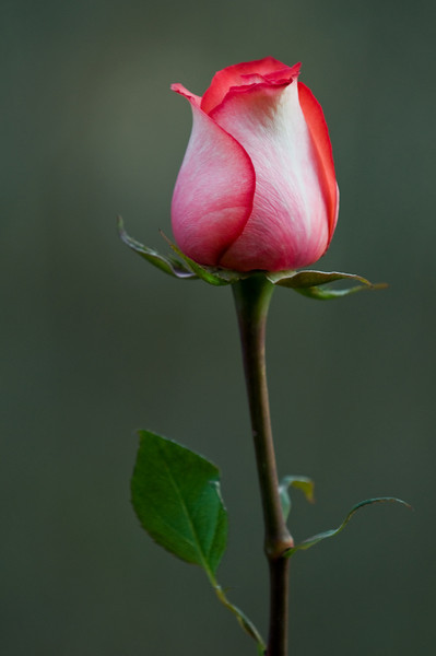 A Rose, Toms River, NJ.