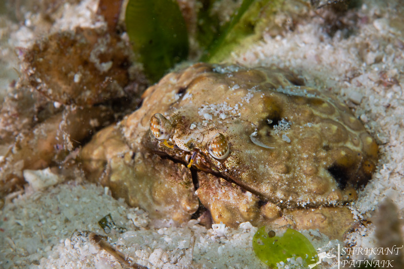 Common Box Crab