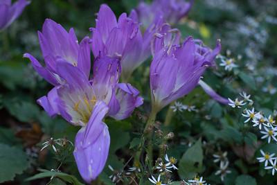 Autumnal Crocus Garden 10/13