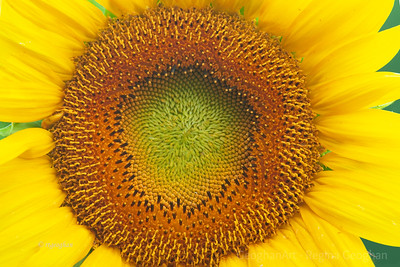Sunflowers NJ 2010
