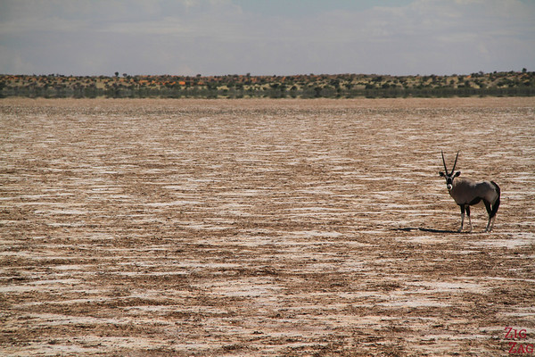 Game drive Kalahari desert, Namibia: Oryx on salt pan