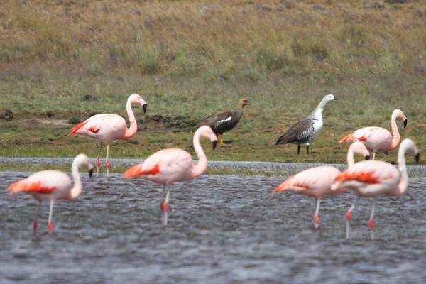 Flamenco Chileno, Chilean Flamingo