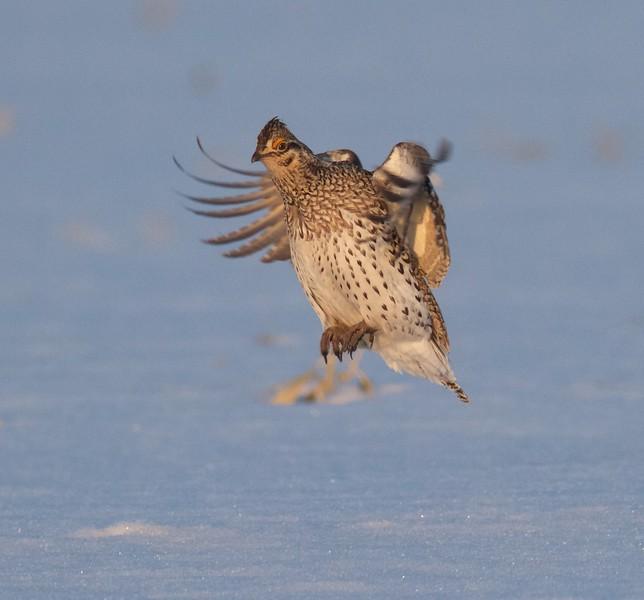 Sharp-tailed Grouse lek blind Kettle River Twp Carlton Co MN IMG_7856.jpg
