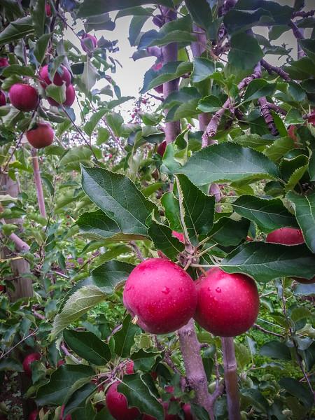 red prince apples.jpg