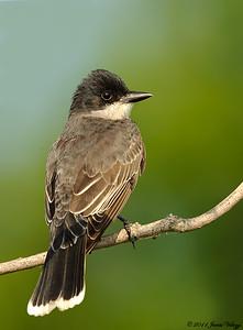 Eastern Kingbird, Tyrannus tyrannus