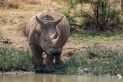 White Rhino at a waterhole