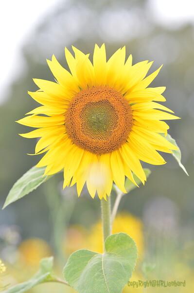 Sunflower Lonay_20092020 (83).JPG