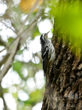 Black -and-White Warbler