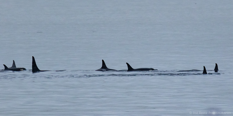 Orcas viewed from Vashon/Fauntleroy ferry.