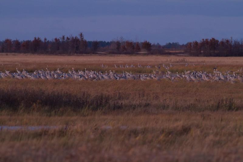 Sandhill Crane flock roosting at dusk Crex Meadows Grantsburg WI IMG_2325.jpg