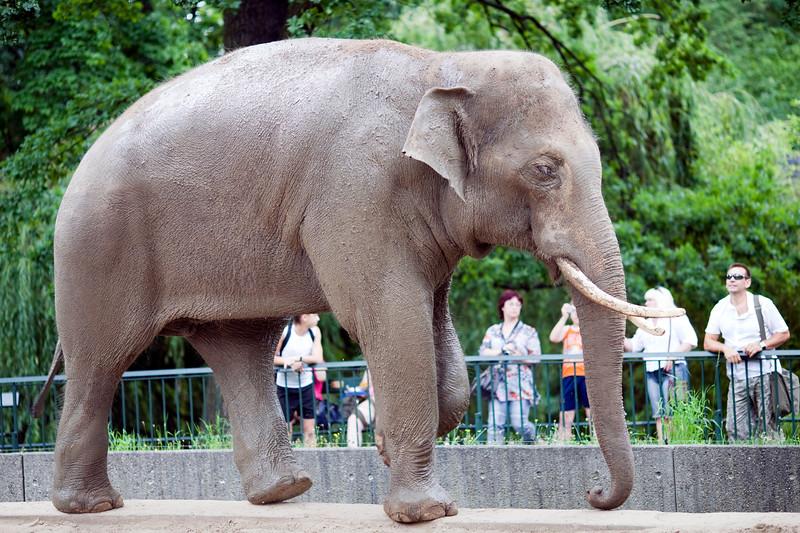 Asian elephant, Berlin zoo, Germany